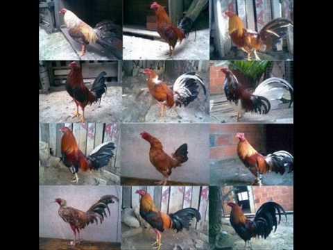 imagenes de gallos daniel ochoa