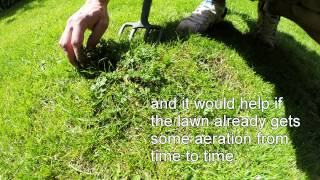 organic lawn weeding -  creeping buttercup - aerate lawn - 2 jobs in 1.