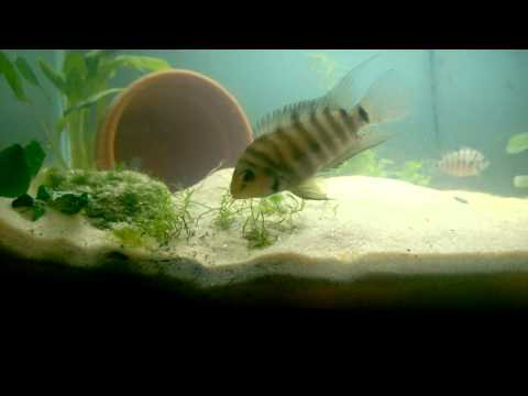 Free-Swimming Cichlid Fry