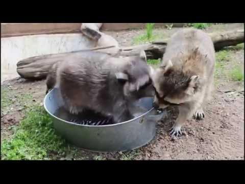 Еноты Маша и Артём стирают (Russian raccoons wash)