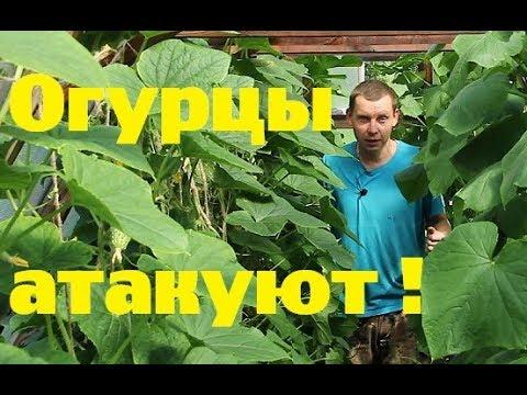 Холостякую//Огурцы атакуют!//Итоги июля