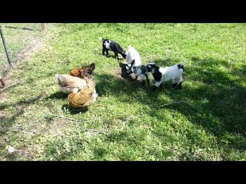 Baby Show Goats For Sale At Thedoglogs