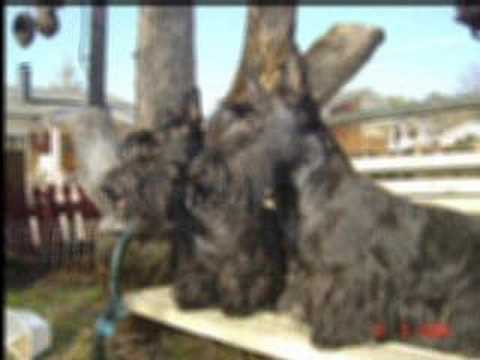 Scottish Terriers - collage Video
