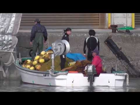Taiji, Japan - Trainers and killers capture and slaughter Bottlenose dolphins