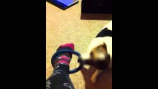 Charlie the Jack Russell playing Tug of War game