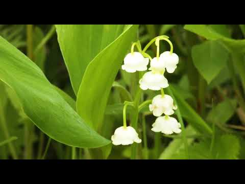 """Spring flower Namino Heights Suzuranjiseichi Lilies of the Valley """"lily of the valley"""" of Aso"""