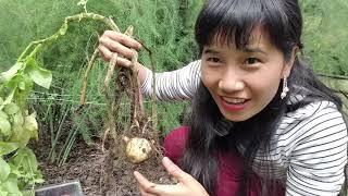Harvesting Potatoes, ĐÀO KHOAI TÂY CỦ BỰ  KHỦNG Ơ VƯỜN ,WASHINGTON