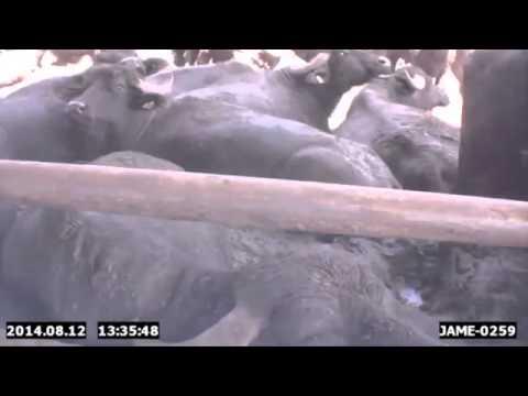 Il video realizzato da Four Paws International e diffuso dalla Lega antivivisezione, mostra le crudeltà all'interno di circa 50 allevamenti di bufale.