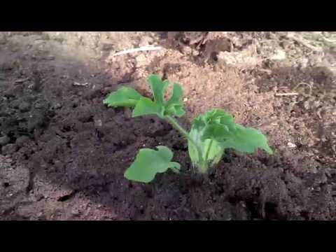 Арбузы и лагенария высажены на участок. 3 часть