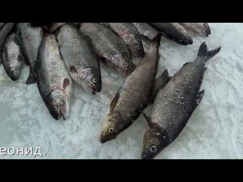 ловля сига по открытой воде