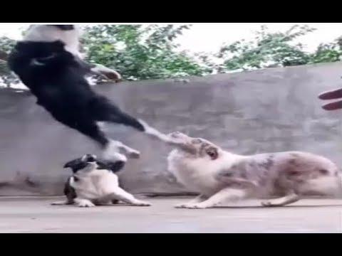 Tiere,  lustige Katzen- und Hundevideos (2018)  - Versuchen Sie nicht, die Herausforderung zu lachen