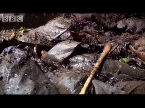 Ants Vs Crabs - a surprising winner! - Ant  Attack - BBC wildlife
