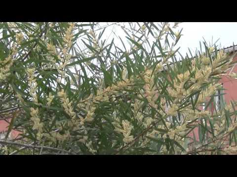Header of Acacia floribunda