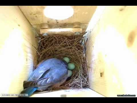 Bluebirds May 21, 2013 Nest Number 2