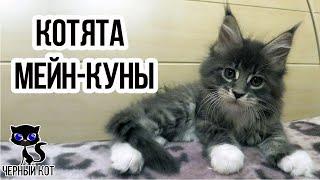 Котята мейн кун, интересные факты о породистых котятах