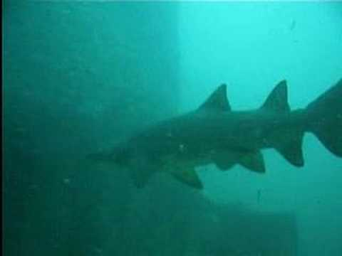 Sand Tiger Sharks off North Carolina