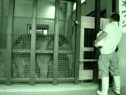 神戸市立王子動物園 アジアゾウ「オウジ」
