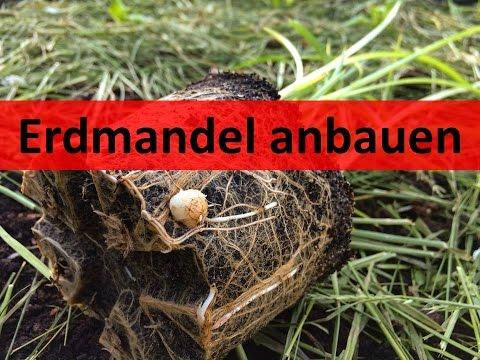 ERDMANDEL anbauen #1 | Erdmandel säen und auspflanzen | Regenwürmer fürs neue Hochbeet