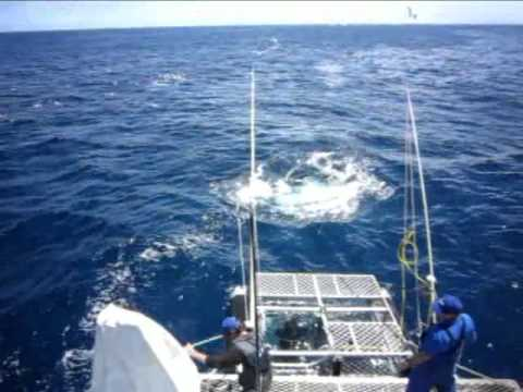 Plongée en cage avec les requins, Australie du Sud  /  Shark cage Diving, South Australia