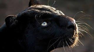 Guide Animal Spirituel ✰╮La Panthère Noire