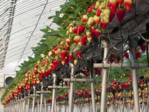 おいしい苺ができるまで   How to grow delicious strawberries