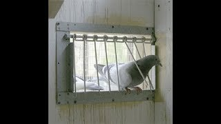 Trap door traning for pigeon | BD Pigeon Paradise