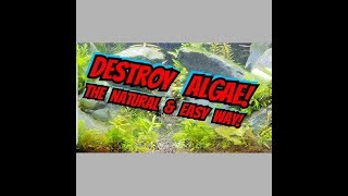 How to Battle Algae in Newly Planted Tanks or Aquascapes, & Ammonia Resistant Cleaning Crew Fish