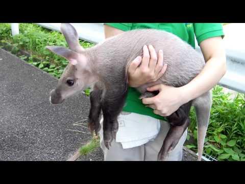 東山動物園 ツチブタの赤ちゃん