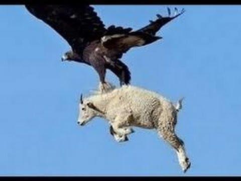 Los Mejores Ataques De Aguilas Captados En Video