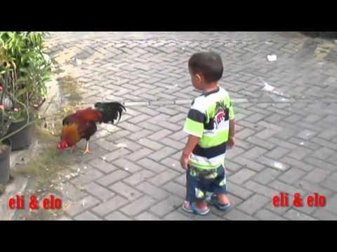 Anak kecil bertarung vs ayam jago