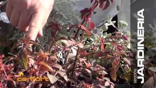 VIVERO ALEGRIA - Plantas Herbáceas Rastreras
