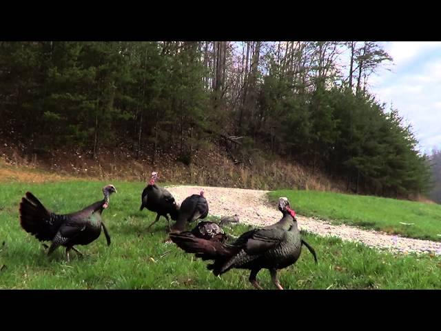 Unbelievable Turkey Hunt 2013 Triple Kill