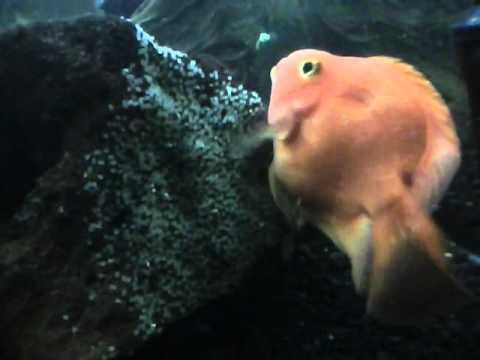 Cichlid Fish Eggs Parrot Fish Breeding Eggs