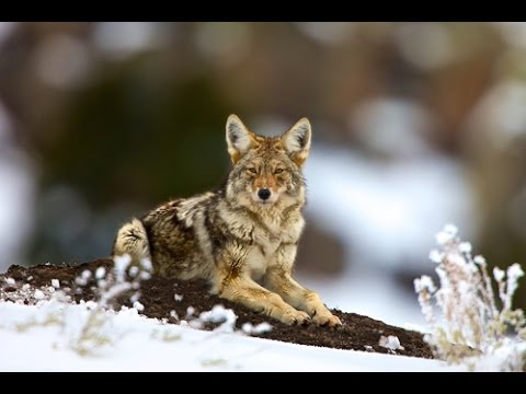 EXPOSED - USDA s Secret War on Wildlife