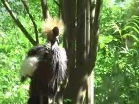West African Crowned Crane Video