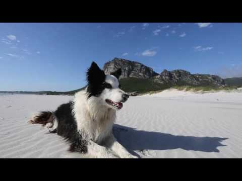 The Border Collie that changed the world.