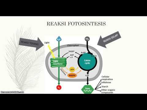 Reaksi terang dan gerak fotosintesis 77