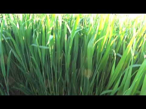 Стоит ли держать пар для пшеницы?