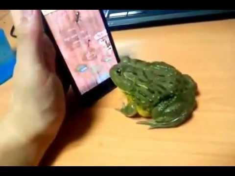 カエルをIPHONEのゲームで遊ばせていたら、予想外の反撃!