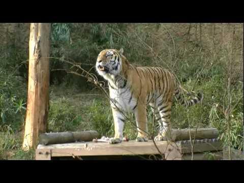 2010多摩動物公園在住虎のシズカちゃん.mpg