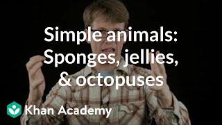 Simple animals: Sponges, jellies, & octopuses | Crash Course biology | Khan Academy