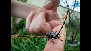 Striped longhorn beetle