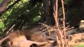 Documental de Leones   Leones Vs Hienas  Enemigos Eternos   Especial National Geographic