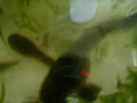 Renacuajos Rana Gigante Chilena (Caudiverbera Caudiverbera)