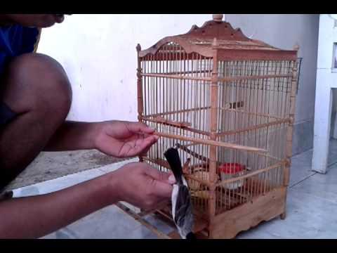 Cara menangkap burung Kutilang dan Pleci.