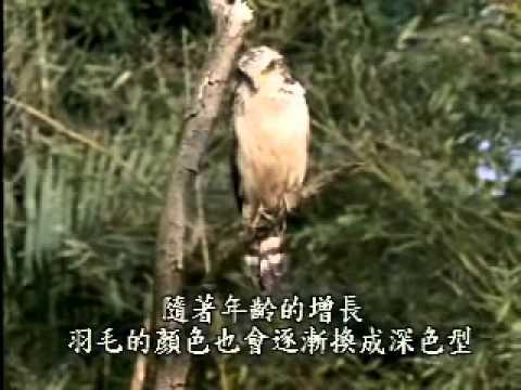 【陽明山國家公園管理處】草山鷹飛-大冠鷲亞成鳥特徵