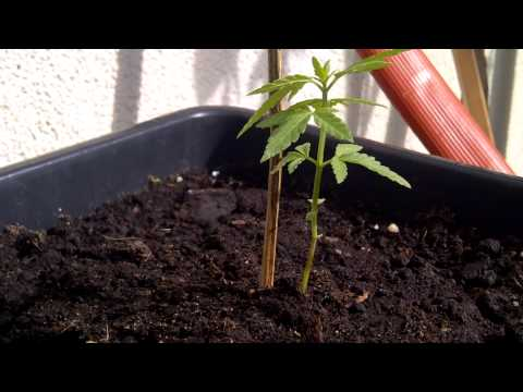 Outside Grow 2012 the seedlings (reupload .vid was recorded 26th of april)