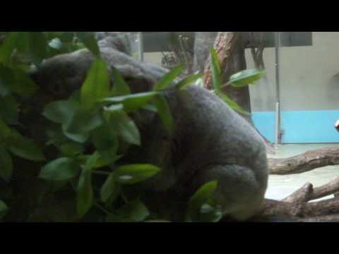 多摩動物公園のコアラさん☆20100605-1