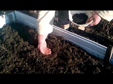 Когда сажать чернушку на севок в открытый грунт 36