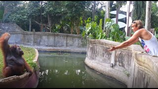 Clever orangutan makes a fair trade with human